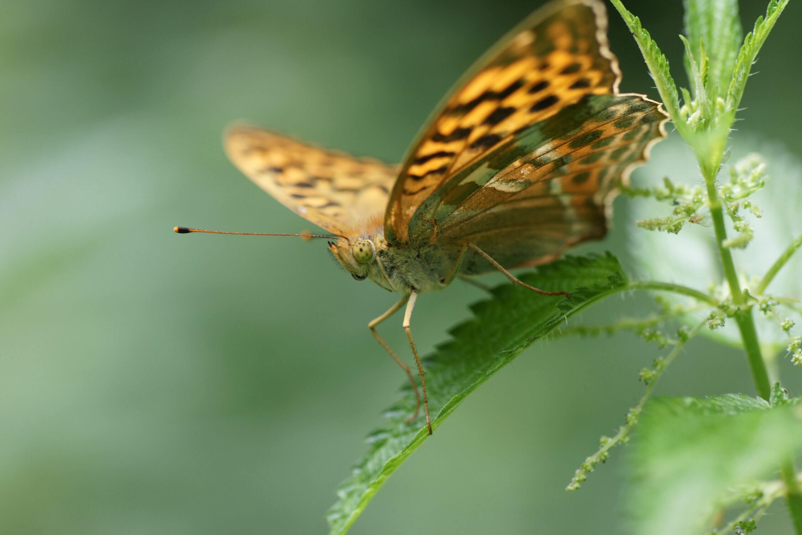 Auf Nordkirchener Gebiet macht die Schmetterlingsexkursion mit Ulrich Dierkschnieder am 11. Juli den Anfang. Foto: Birgit Stephan