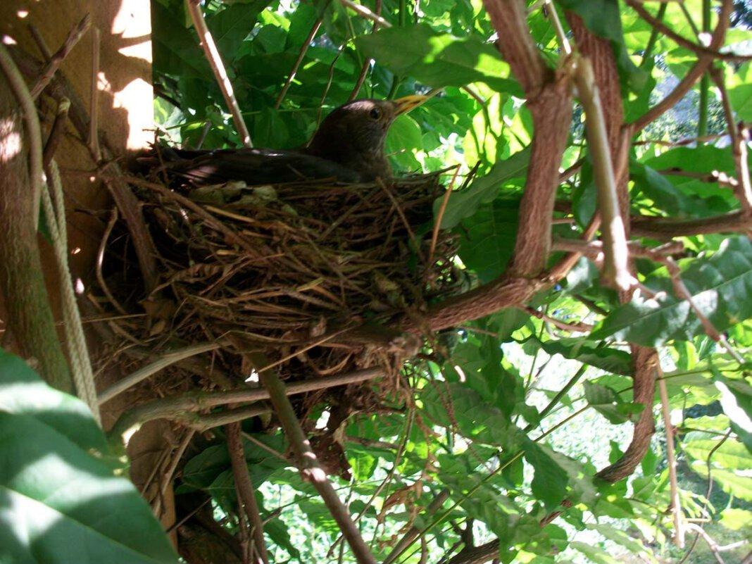 Bald brüten wieder die heimischen Vögel. Für einen kräftigen Gehölzschnitt bleiben also nur noch wenige Tage Zeit. Foto: pixabay