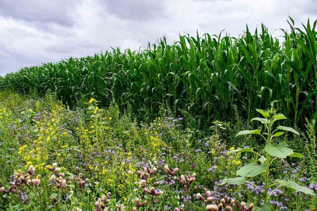 Die Idee: Bürger übernehmen die Patenschaft für eine Fläche, auf der ein Landwirt für fünf Jahre eine Insekten freundliche heimische Pflanzensaat ausbringt und den regelmäßigen Schnitt sowie die Abfuhr der Mahd sicherstellt.