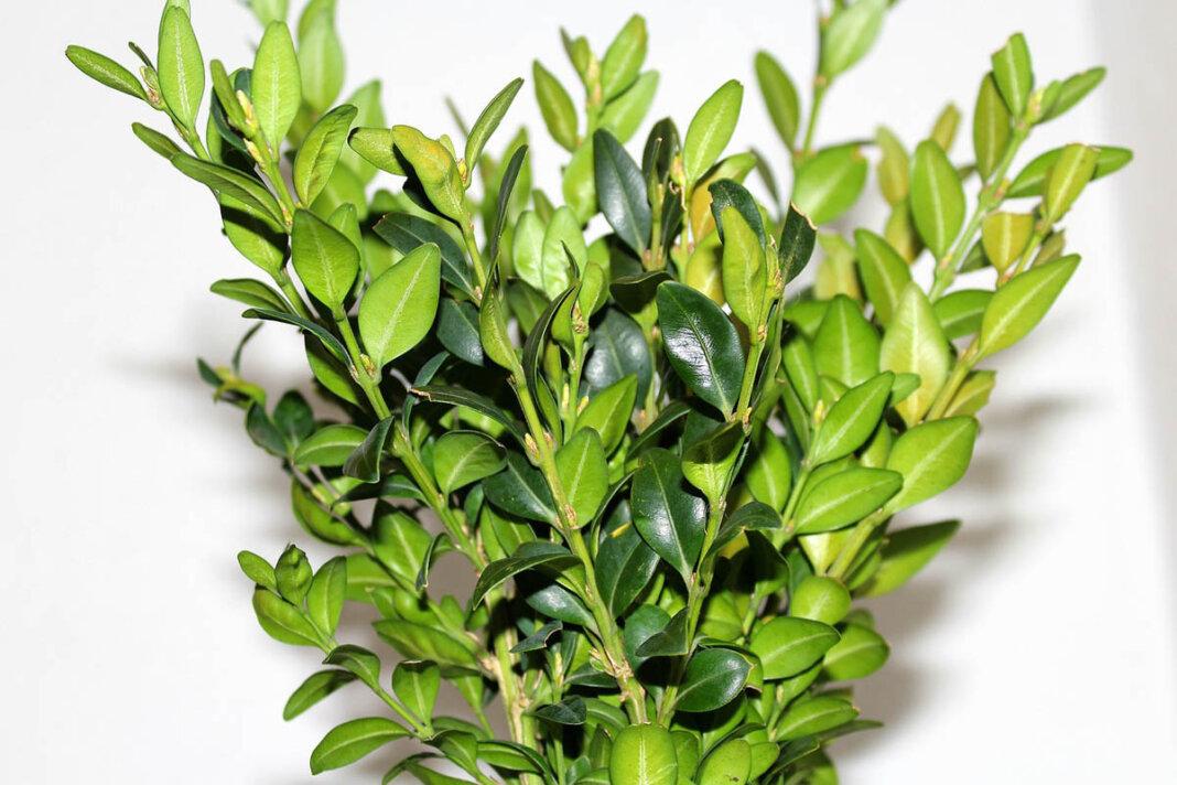 Grünschnitt vom Buchsbaum oder anderen immergrünen Sträuchern wird benötigt. Foto: pixabay