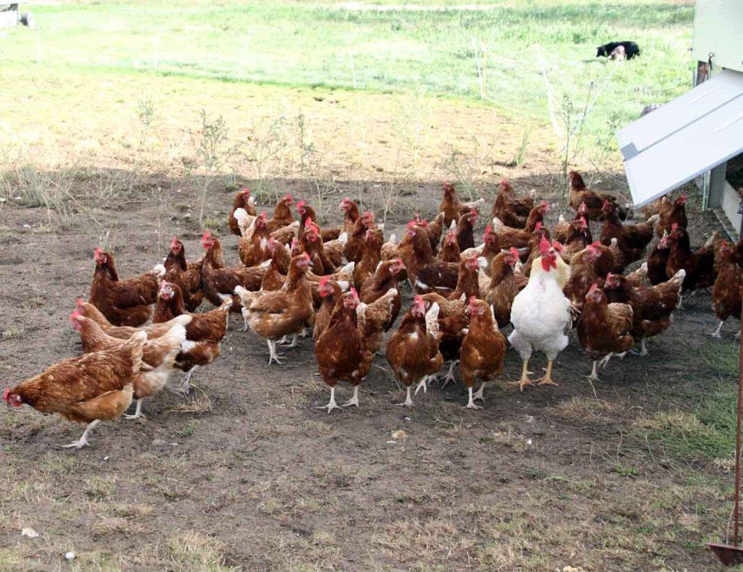 Die Geflügelfütterung sollte bei Freilandhaltung nur noch in einem geschützten Bereich erfolgen, rät die Veterinärbehörde. Foto: Wagner