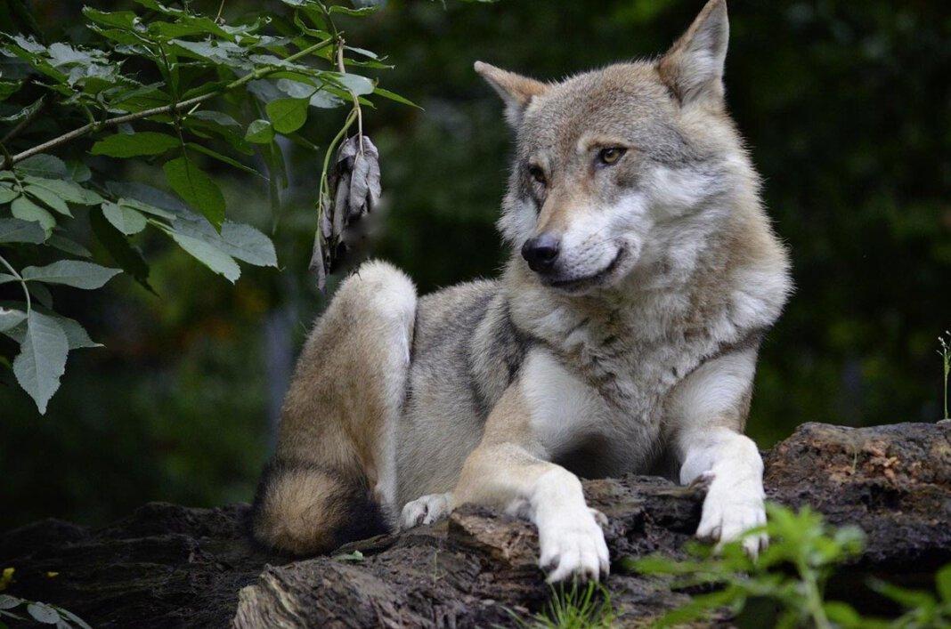 Ein Wolf ist auf Werner Stadtgebiet in eine Fotofalle getappt. Symbolfoto: pixabay