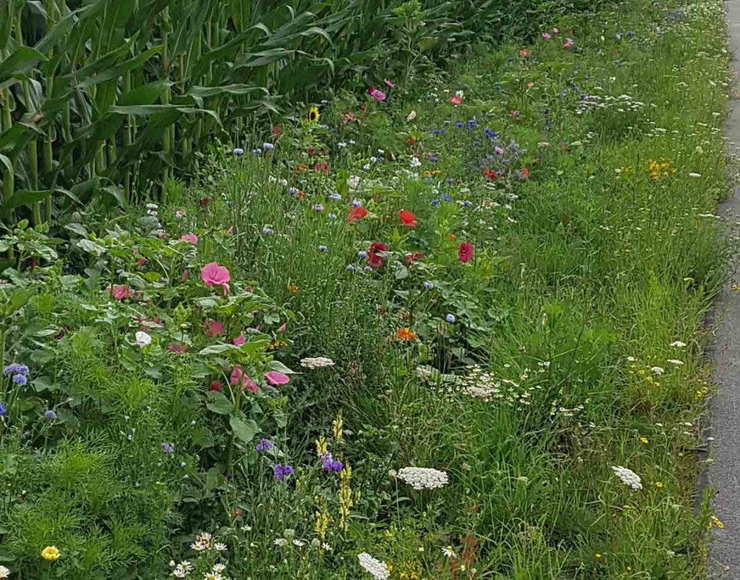 Mehr Blühwiesen, wie diese in Herbern, sollen in der Gemeinde Ascheberg entstehen, wünschen sich die Freien Wähler. Foto: Gaby Brüggemann