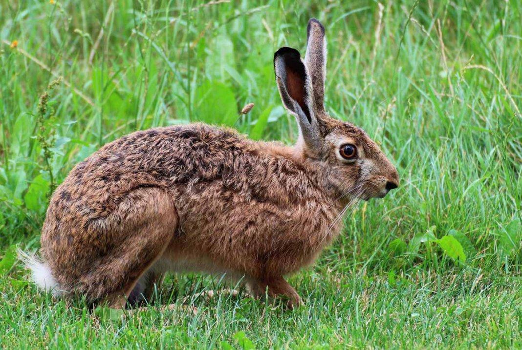 Zwei Fälle der Hasenpest sind in Werne aufgetreten. Die Kreisveterinärbehörde warnt davor, tote Tiere zu berühren. Symbolfoto: pixabay