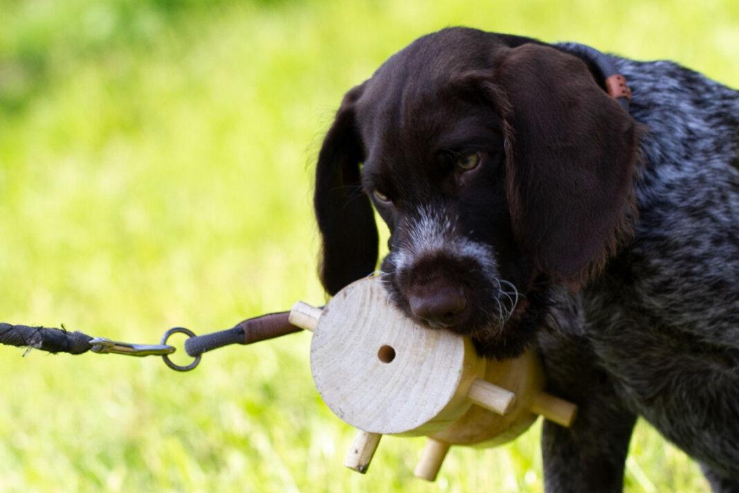 """Der Deutsch Drahthaar- Welpe """"Branco"""" von Herrchen Klaus Jürgen Buse wird spielerisch auf die Ausbildung zum Jagdhund vorbereitet. Foto: Isabel Schütte"""