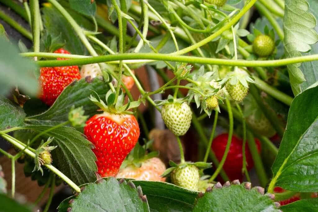 Die Erdbeer-Kulturen sehen nicht schlecht aus, so die Einschätzung von Stefan Kraege, Vorsitzender des Obstbau-Landesverbandes Westfalen-Lippe. Foto: Isabel Schütte