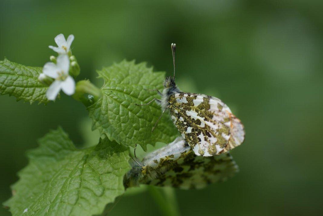 Eine Schmetterlingsexkursion mit Ulrich Dierkschnieder wird angeboten. Dann gibt es wahrscheinlich auch Aurorafalter zu bestaunen. Foto: Storm